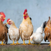 To understand COVID vaccine and the delta variant -- check out the chickens